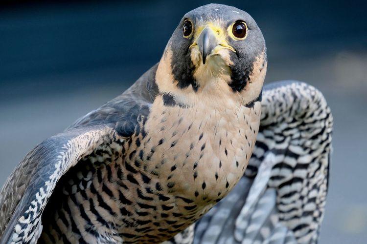Falco peregrinus , peregrine falcon