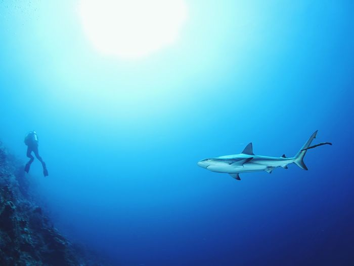 Caribbean Sea underwater photography Reef Shark Bahamas Shark Underwater UnderSea Sea Scuba Diving Blue Swimming Water Adventure