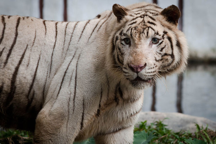 Portrait of white tiger at zoo