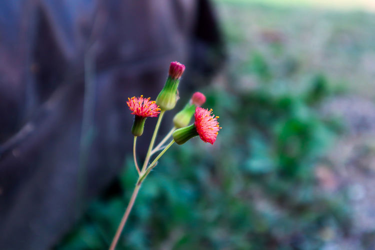 No People Plant Stem Day Pink Color Flower Head Inflorescence Focus On Foreground Growth Vulnerability  Freshness Beauty In Nature Flower Flowering Plant Petal Outdoors Plant Fragility Close-up Nature Selective Focus Pollen EyeEmNewHere EyeEm Nature Lover