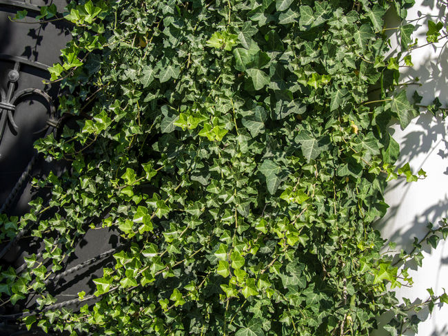 Balaklava Balıqlava Beauty In Nature Botany Creeper Crimea Day Flora Freshness Green Green Color Ivy Leaf Leaves Liana Lush Foliage Nature No People Outdoors Plant Plant Life Tranquility
