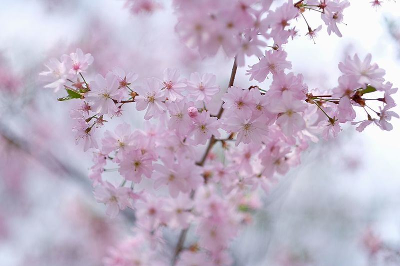 cherryblossom Fujinon56mm1.2 Kirschblüten  Flower Flowering Plant Freshness Plant Beauty In Nature Fragility Blossom Springtime Pink Color Growth Cherry Blossom