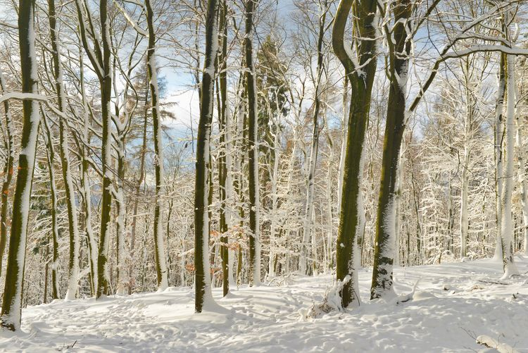 Snow ❄ Trees Winter Wintertime Beauty In Nature Cold Temperature Day Forest Land Nature No People Non-urban Scene Outdoors Pine Woodland Plant Scenics - Nature Snow Tranquil Scene Tranquility Tree Winter Winter Trees WoodLand