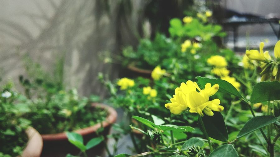HDR Hdr_pics Beauty In Nature Focused Day Yellow Flowers Green Leaves Hdr Photography Fragility Focus Objects Small Flowers Small Plants
