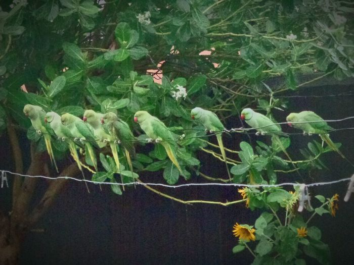 My Favorite Photo Rainy Days Monsoon Parrot Parrots Row Siting Wire Green Garden Photography