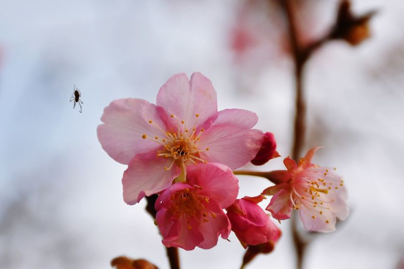 Cherry Blossom Sakura Blossom Sakura EyeEm Selects Flower Flowering Plant Beauty In Nature Plant Fragility Freshness Pink Color Close-up Pollen