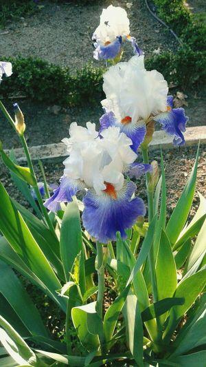 Flower Iris -