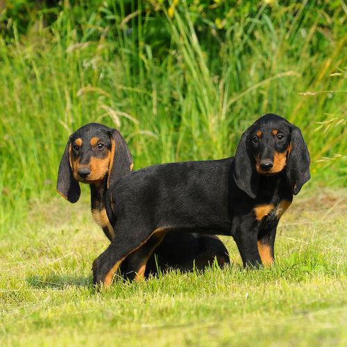 Black dog in a field