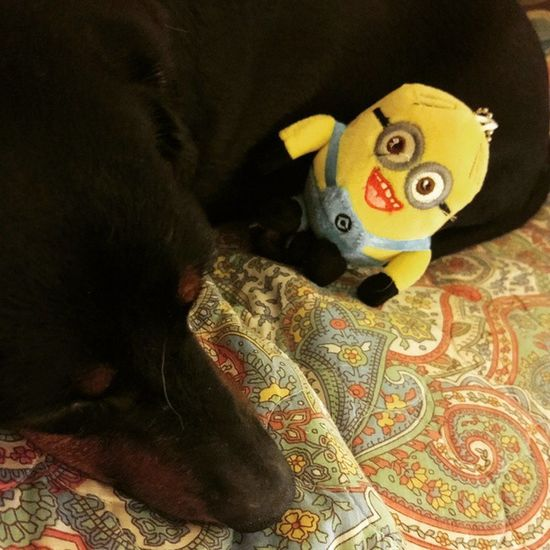 Lolli and her Minion....all the way from Montreal Canada! Doxielove Minionslove Doxie Love Divadoxie Dachshund