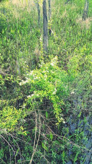 Taking Photos Swamp Louisiana Swamp EyeEm Nature Lover Flowers