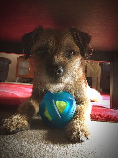 You can't find me... Dog With A Ball Dog Pets Domestic Animals Playing Play Border Terrier Playful Dog Happy Happy Dog Animal Photography