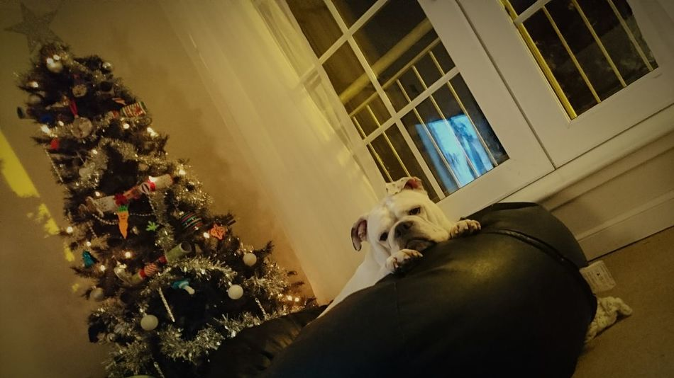 Leisure Activity Indoors  Christmas Tree Christmas Tree No People Oldthymedorset Bulldog Nature