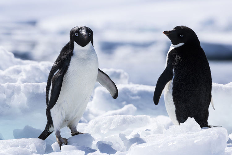 High angle view of penguin on snow