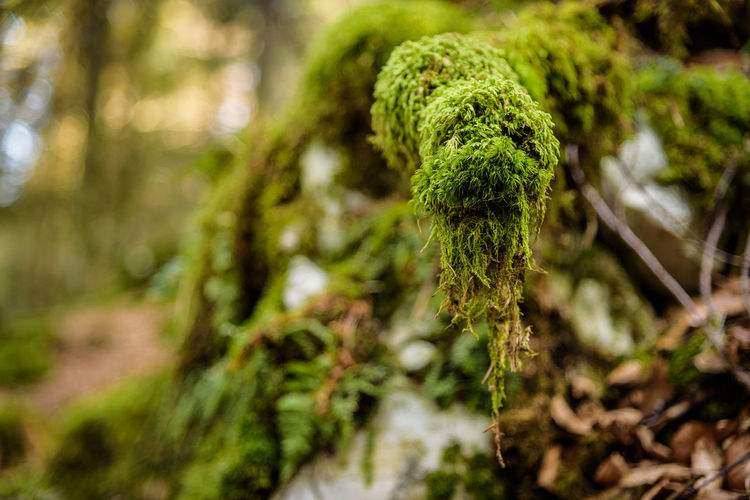 Erve Erve Miozzo Photo Miozzo Field Trunk Covering Tranquility Marijuana - Herbal Cannabis Beauty In Nature Forest Focus On Foreground Close-up Selective Focus Tree No People Green Color Plant Day Outdoors Coniferous Tree Growth Moss Nature Land Rainforest Lichen Fir Tree