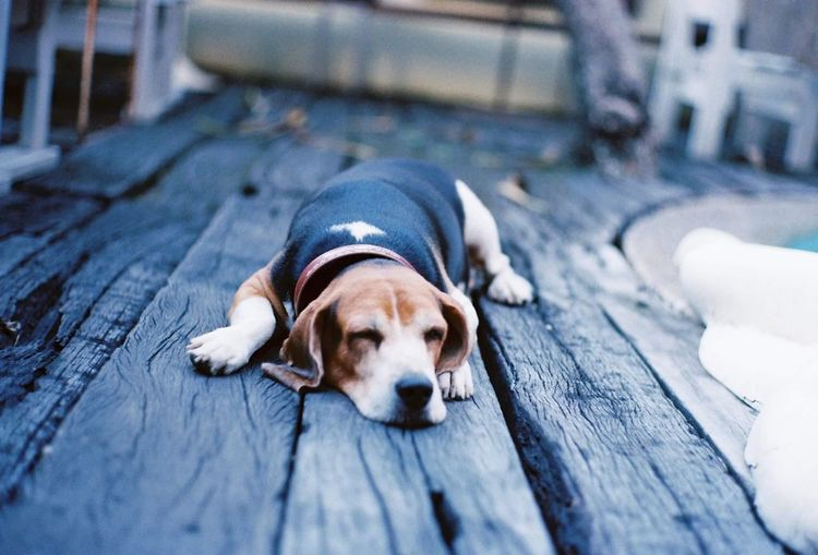 Close-up of dog sleeping on wooden floor