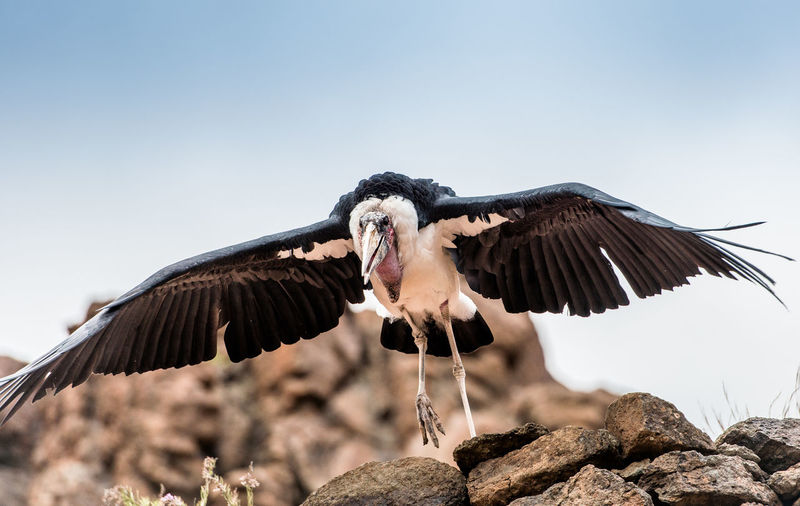 Low angle view of marabu flying against clear sky