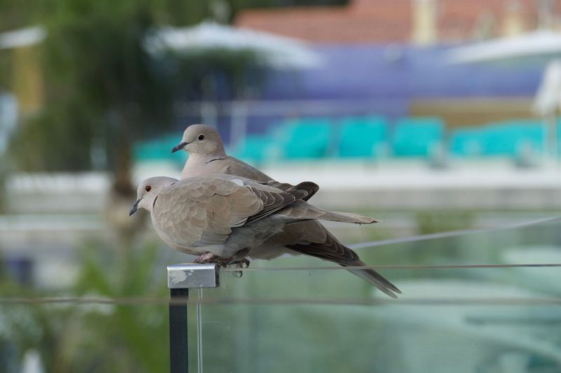 Dove couple Bird Animal Themes Perching Animals In The Wild Animal Wildlife Mourning Dove Focus On Foreground Nature No People One Animal Close-up Day Outdoors Sparrow Beauty In Nature