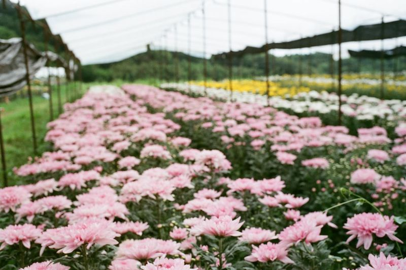 Close-up of pink flowering plants in greenhouse