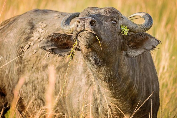 Cape buffalo (syncerus caffer) grazing at the Masaai Mara Triangle, Kenya African Buffalo BIG Heavy Kenya Animal Big Five Cape Buffalo Ears Grassland Horned Animals Masaai Mara Safari Savanna Syncerus Caffer Vertebrate Vigilant Wildlife