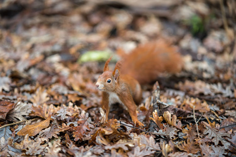 Close-up of squirrel on dry leaves