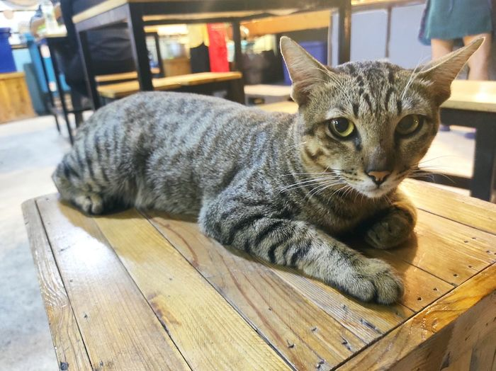 Portrait of a cat on wooden table