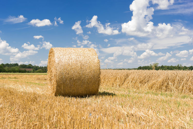 Hay roll on a meadow on a hot summery day with puffy clouds on a deep blue sky Agriculture Beauty In Nature Cereal Plant Cloud - Sky Crop  Day Field Grass Growth Hay Hay Bale Landscape Nature No People Outdoors Rural Scene Sky Tranquility Wheat