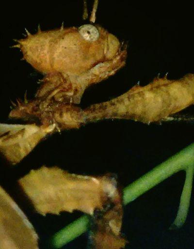 "Siney Leaf Insect ""climbing""... Entemology Macro Insects  EyeEmNewHere Black Background Close-up Eyeball"