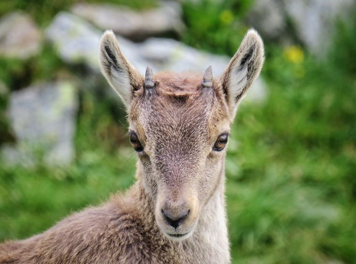 Mountain Orobie Prealps Nature Nature_collection Naturelovers Steinbock Puppy Wildlife Portrait Looking At Camera Close-up Grass HEAD Animal Eye Eye