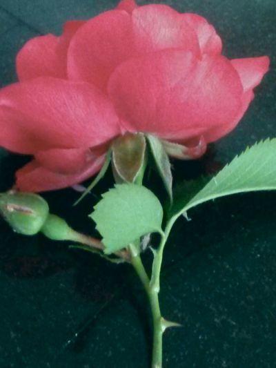 Rd rose