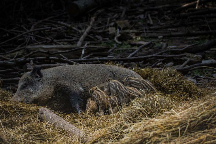 Wild boar breastfeeding young animals on hay