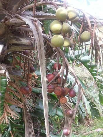 Taking Photos Wildlife And Nature Palm Tree Palm Tree Fruits Beauty Of Nature Nature_collection From My Point Of View South Africa No People