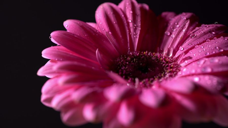 Pink magenta gerbera flower with water drops rotating on black isolated background. Beautiful single blooming gerbera. Daisy is flower of Asteraceae family. Flower Freshness Flowering Plant Beauty In Nature Fragility Close-up Petal Vulnerability  Black Background Inflorescence Flower Head Plant Growth Studio Shot Drop Pink Color Water Pollen No People Dew RainDrop