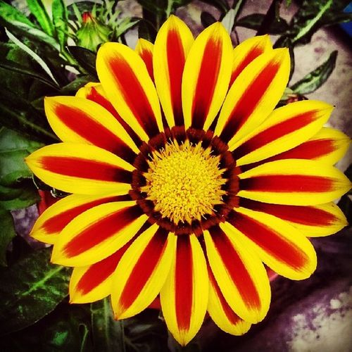 Pretty innit'? Cameronhighland Daisy Resplendent Nature CreationOfGod blessedForSuchBeauty