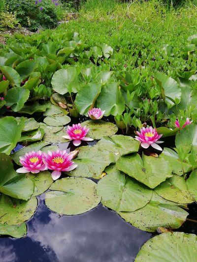 Flower Head Flower Water Lily Pad Leaf Floating On Water Water Lily Lotus Water Lily