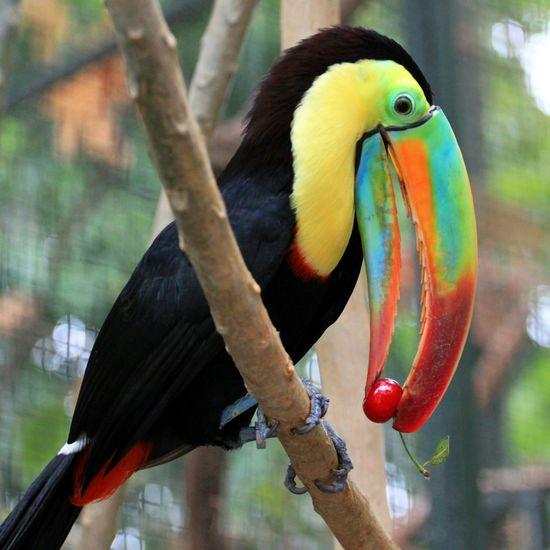 Zoo Bird Tucan Cherry Nature