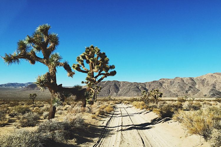 Dusty Trail Blue Nature Beauty In Nature Scenics Tranquil Scene Tranquility Non-urban Scene Physical Geography Rock - Object Clear Sky Landscape Geology Desert Day Sunlight Idyllic Arid Climate Outdoors No People Growth Joshua Tree National Park Dusty Road Tree