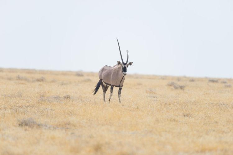 Gemsbok standing on field against clear sky