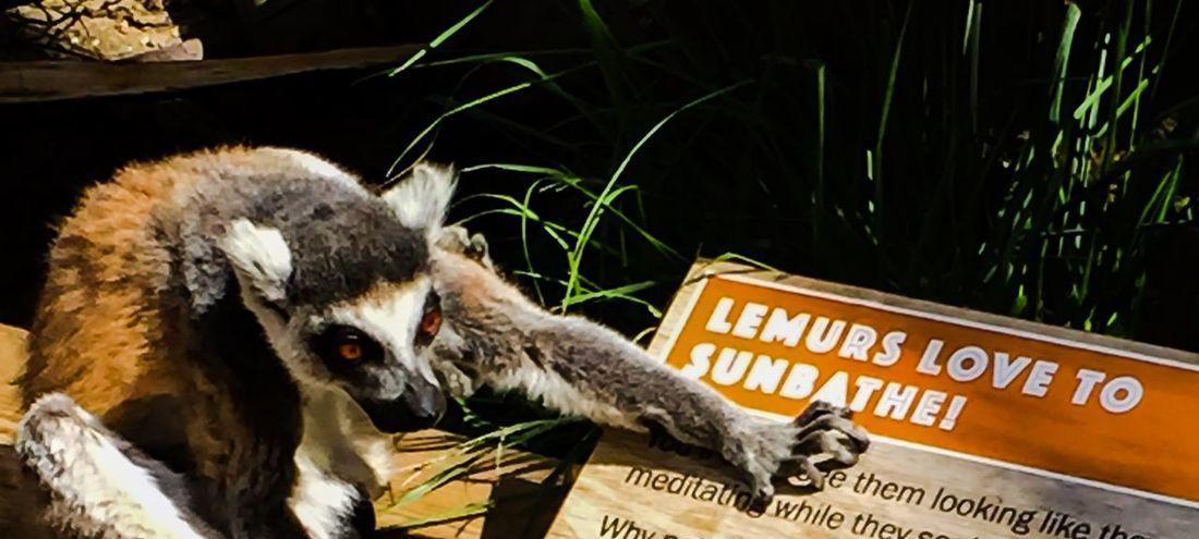 Lemur Lemurs Sunbathe Sunbathe Sunbathing ZSL London Zoo Zoo EyeEm Gallery Chilling