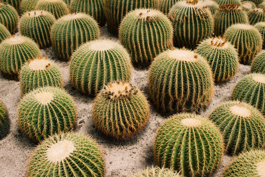 tough Cactus Garden Abundance Backgrounds Barrel Cactus Beauty In Nature Cactus Close-up Day Field Full Frame Green Color Growth High Angle View Nature No People Outdoors Plant Sharp Spiked Succulent Plant Thorn