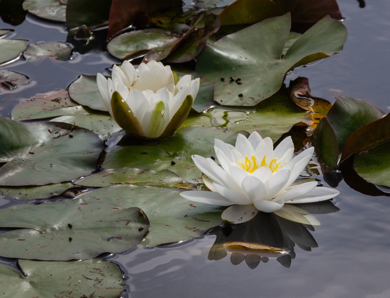 flowering plant, flower, plant, beauty in nature, fragility, vulnerability, water, water lily, petal, lake, freshness, growth, close-up, nature, inflorescence, flower head, leaf, floating on water, no people, pollen, lotus water lily, flower arrangement