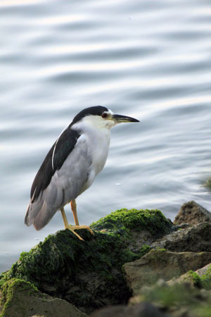 Animal Themes Animal Wildlife Animals In The Wild Bay Beauty In Nature Bird Close-up Day Marine Life Nature Night Heron No People One Animal Outdoors Perching Rock - Object Serine Water