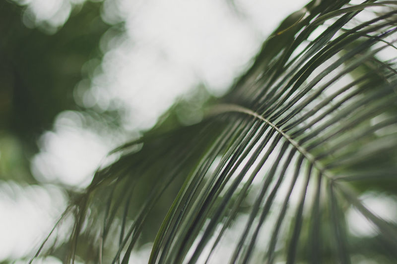 Green Green Color Beauty In Nature Bokeh Green Color Leaf Nature No People Outdoors Palm Leaf Palm Tree Plant Plant Part Selective Focus Tree Growing Leaves Plant Life