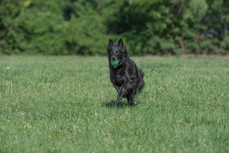Belgian Shepherd Running Through the Grass Alertness Animal Themes Belgian Shepherd Black Color Day Dog Domestic Animals Field German Shepherd Grass Mammal Nature No People One Animal Outdoors Pets Sitting