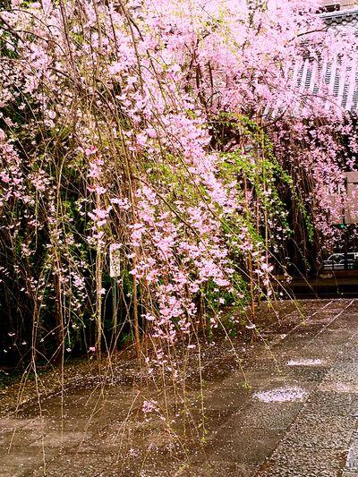 I LOVE Sakura🌸🌸🌸🌸🌸🌸❤ Beautiful ♥ Tokyo Days 💕💕💕💕💕💕💕 Japan 😍😌😊 ℓσνє♡ Photography In Motion Photographic Memory Beatiful View Showcase April Cherryburassamu🌸🌸🌸 2016cherryburassamu🌸🌸🌸 Cloudy Sky 枝垂れ桜
