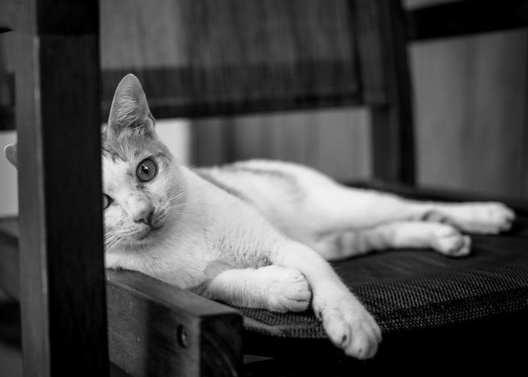 Close-up portrait of cat lying on chair