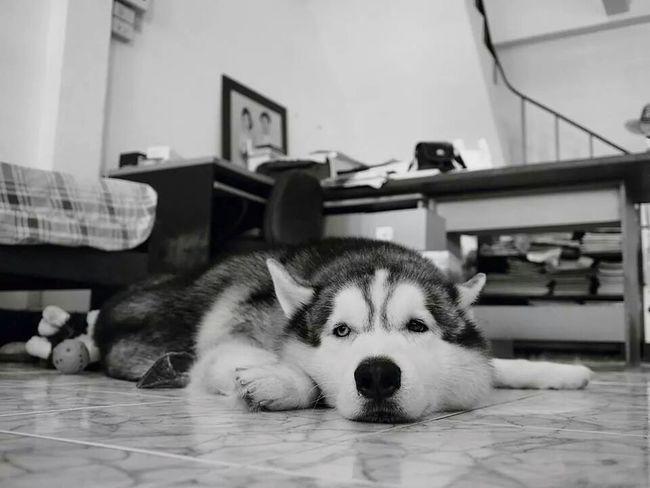 """Ska"" My Dog Siberian Husky B&w Photography Bw_potrait"