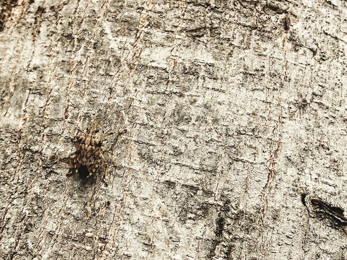 Bug camouflage on full frame of tree skin. Camouflage Animals Camouflage Day Animals In The Wild No People Insect Textured  Outdoors Animal Themes Nature Close-up