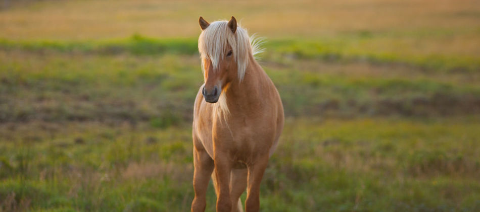 Horse Iceland Icelandic Horse Landscape Nature No People Outdoors Pony