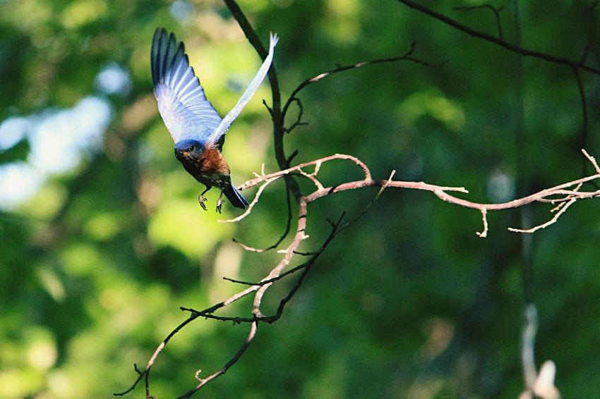 Blue Bird Blue Bird in flight In Flight Flight Coming In Coming In For A Landing Feeding Time Blue Bird In Flight Pretty Bird Blue Trees Taking Off Flying Down Fine Art Photography