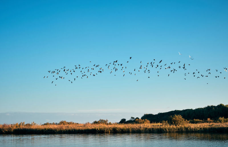 Animal Themes Animal Wildlife Animals In The Wild Beauty In Nature Bird Blue Clear Sky Day Flamingo Flock Of Birds Flying Lake Large Group Of Animals Mid-air Migrating Nature No People Outdoors Scenics Sky Togetherness Tranquility Tree Water Waterfront